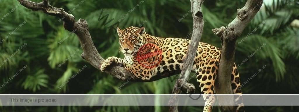 Jaguar in a tree, its signature vcan be found in Nukini Rapé Onça