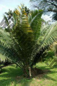 for Rapé Jarina the flowers of the Jarina palm tree are used