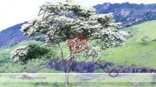 A Jurema branca tree in Brazilian landscape, its ash is used for snuff/rapé jurema branca