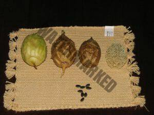 The dried fruit used for the shamanic snuff