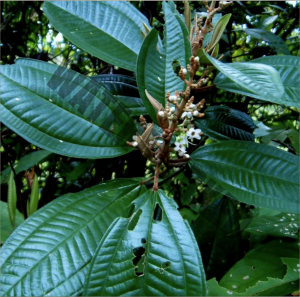close up af a leaf of the Miconia-albicans brush. It is used in Canela de velho Rapé/snuff
