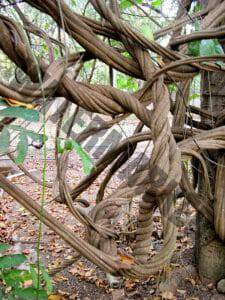 I view of a vine called, Banisteriopsis caapi on a plantation, Rapé Ayahuasca has some of the vine in it