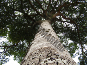 looking up the stem of a Hymenaea courbaril tree. The fundament for Rapé Jatobá