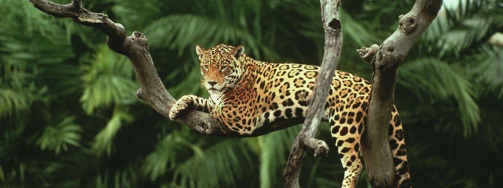 Juguar in a tree, its signature vcan be found in Rapé Onça