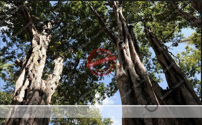 Several big Cenostigma Macrophyllum trees, the ashes of the bark are used for Caneleiro Rapé