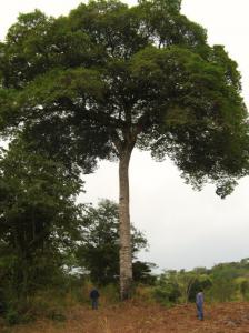 2 poeple standing next to a Jatobá tree. The bark is used to makes ash for Rapé Jatobá