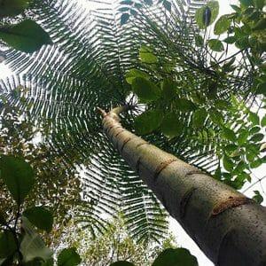 looking up a Schizolobium amazonicum tree. the bark is used for rapé/snuff. parika rapé